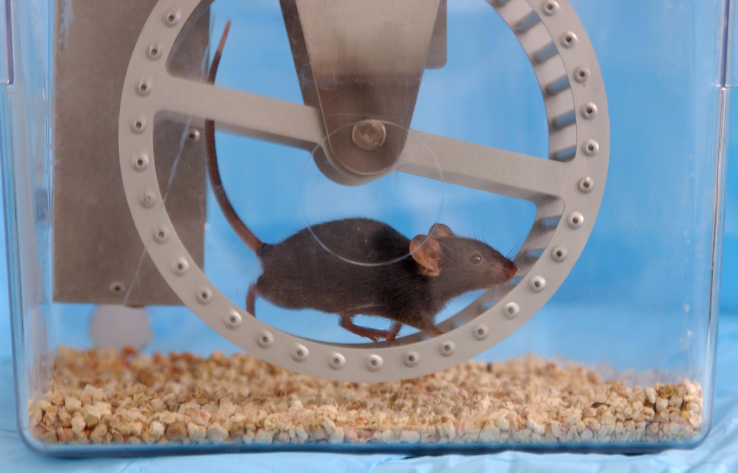 mouse exercise running wheel als